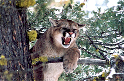 Mountain Lion Hunting Trip near Missoula, Montana
